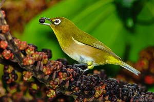 A Japanese white-eye taking his pick of some ripe berries...